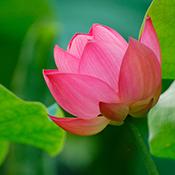 lotus-india